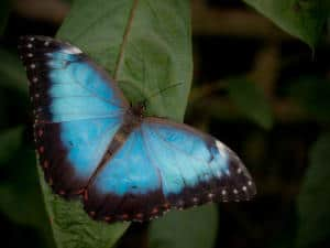 Morpho butterfly on leaf