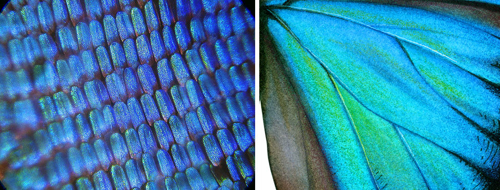 Close up of Morpho butterfly wing